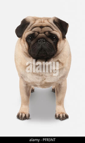 Pug, 2-3-year old male dog - Stock Photo