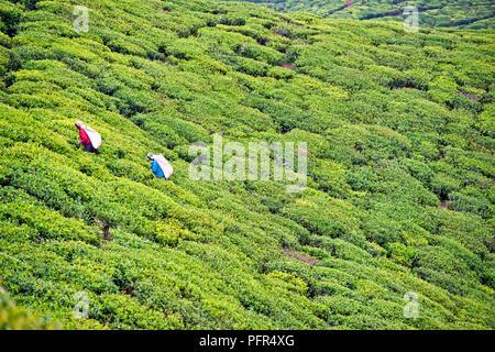 Sri Lanka, Nuwara Eliya, Uva Province, Labookellie Tea Factory, tea pluckers near Nuwara Eliya - Stock Photo