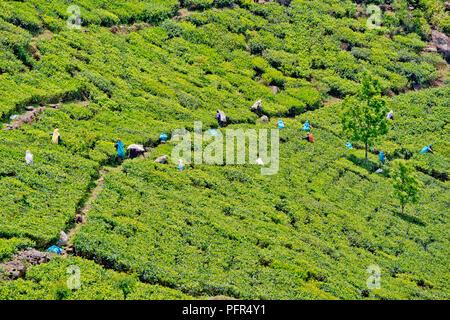 Sri Lanka, Uva Province, Haputhale, Dambatenne Tea Factory Area, view of tea plantation - Stock Photo