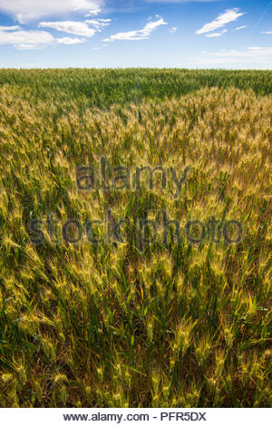 Mature wheat field with blue sky, Palouse, Washington State, USA - Stock Photo