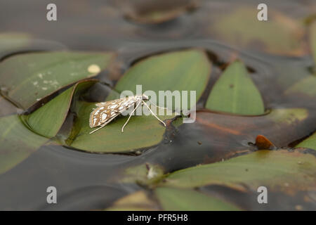 A pretty Brown China-mark Moth (Elophila nymphaeata) perching on a water plant leaf in a pond. - Stock Photo