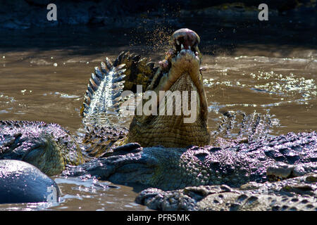 Large crocodiles feast from the remains of a dead hippo. Each huge crocodile swallows massive chunks of meat, hide and bone which their super-efficien - Stock Photo
