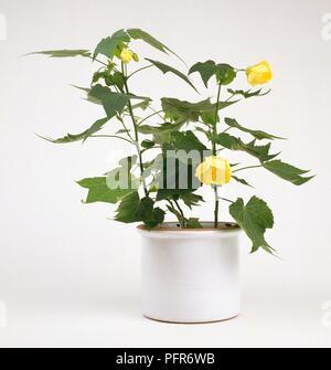 Abutilon indicum (Indian Abutilon, Indian Mallow) in white container - Stock Photo
