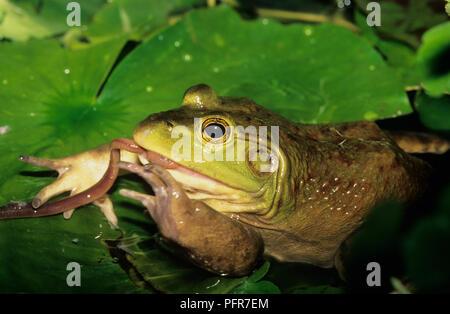 Bullfrog (Rana catesbeianus) or (Lithobates catesbeianus) eating an earthworm in a swamp in SW Idaho - Stock Photo