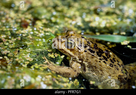 Columbia spotted-frog (Rana luteiventris) in a wetland in Owyhee County in SW Idaho - Stock Photo