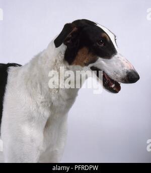 Polish Greyhound, head in profile - Stock Photo
