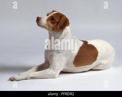 Dansk Svensk Gardshund (Danish Swedish Farmdog), side view - Stock Photo