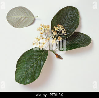 Sorbus thibetica 'John Mitchell' (Tibetan whitebeam), stem with leaves and flowers, also showing underside of a leaf - Stock Photo
