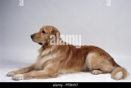 Gold Hovawart dog, lying down - Stock Photo