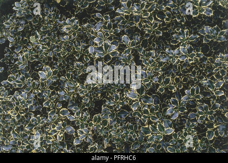 Ilex aquifolium 'Argentea Marginata' (Silver-Margined Holly) with spiked green and yellow variegated leaves - Stock Photo