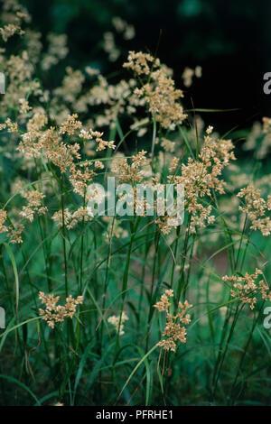 Luzula nivea (Snowy woodrush), rush flowers - Stock Photo