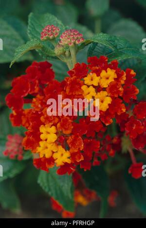 Lantana camara 'Radiation', shrub displaying showy, red-orange, flower clusters, close-up - Stock Photo