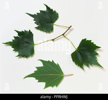 Tilia mongolica (Mongolian lime), stem with three leaves, and underside of a leaf - Stock Photo