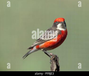 Australia, Northern Territory, Alice Springs Desert Park, Crimson Chat (Epthianura tricolor) - Stock Photo