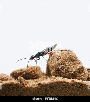 Emerald Cockroach Wasp or Jewel Wasp (Ampulex compressa) on sandy rock, side view - Stock Photo