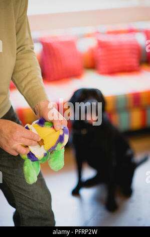 Black Labrador dog watching his owner who is holding a toy - Stock Photo