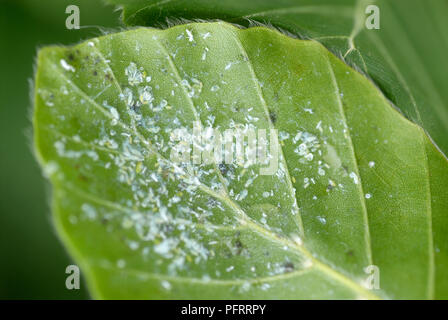 Beech leaves infested with Woolly beech aphid (Phyllaphis fagi), close-up - Stock Photo