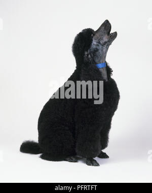 Black Standard Poodle sitting and howling with head in profile - Stock Photo