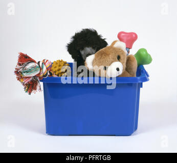 Black Standard Poodle puppy sitting in blue box peeking from behind pet toy - Stock Photo