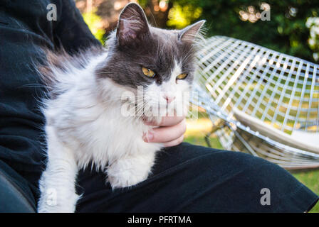 Beautiful cat being pet while sitting in someone's lap - Stock Photo