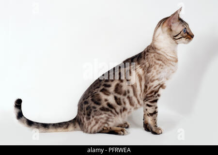 Brown rosetted Bengal cat with blue eyes, sitting, side view