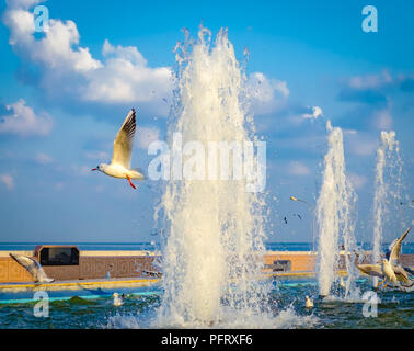 Seagull flying off from the water fountain after quenching its thirst, while other seagulls are playing in the water. From Muscat, Oman. - Stock Photo