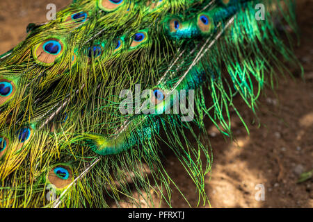 Beautiful peacock feathers ,Green peafowl. Peacock opening his tail feather. Pattern of colorful feathers under sun rays. Copy space.male peacock with colorful tail.peacock displaying his tail - Stock Photo