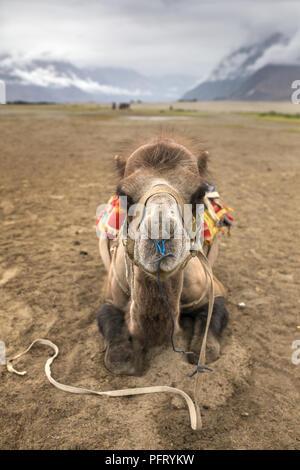 Camel portrait close-up. Camel safari in Nubra valley in Ladakh, India - Stock Photo