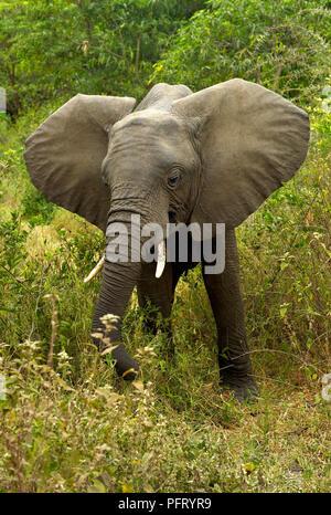 African Elephant in Lake Manyara National Park, Tanzania - Stock Photo