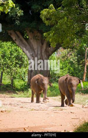 Vertical view of baby elephants at Udawalawe, Sri Lanka. - Stock Photo