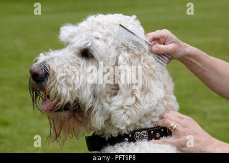 Labradoodle: being groomed by owner in garden - Stock Photo
