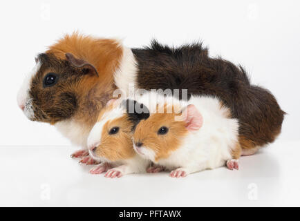 Mother and baby guinea pigs, Abyssinian guinea pigs - Stock Photo
