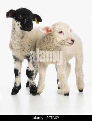 Lambs, Rough fell cross Charollais sheep and Romney sheep, both 4-week-old males - Stock Photo