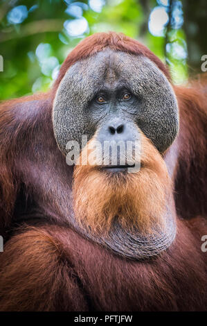 Portrait of male Orangutan, Gunung Leuser National Park, Sumatra, Indonesia - Stock Photo