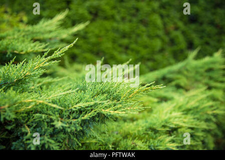 Landscaping, thuja fence, thuja tree branches closeup, background with copyspace for the text - Stock Photo