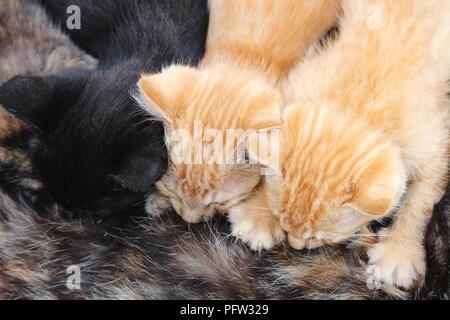 Horizontal photo of three young kittens breastfeeding from tortoishell mom cat. One black kitten and two orange tabby kittens. - Stock Photo