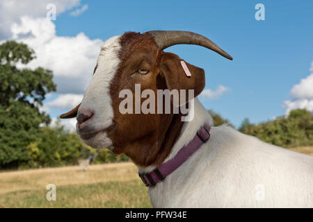 Head of a neutered 'wether' Boer goat pet with a purple collar and good horns, Berkshire, August - Stock Photo