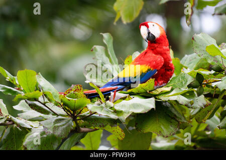 Red Parrot in tree - Stock Photo
