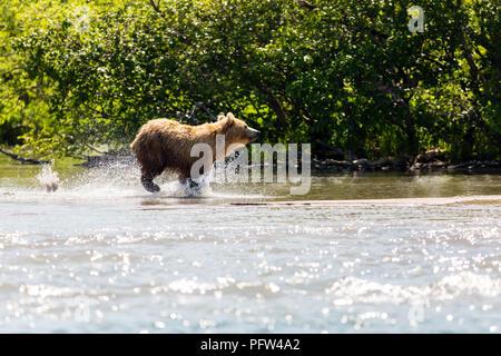 Brown bear (Ursus arctos beringianus) fishing in the river. Kamchatka, Russia - Stock Photo