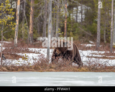 Female brown bear (Ursus arctos) foraging for food in the snow. Finland. Near Russian border. - Stock Photo