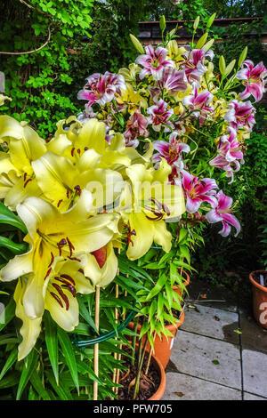 Oriental lily, Lilium ' Lesotho ', Oriental lilies, Lilium oriental pot - Stock Photo