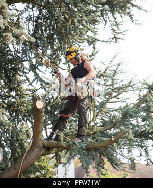 Male Tree Surgeon using a chainsaw standing on a tree branch - Stock Photo