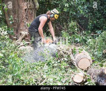 Male Tree Surgeon using a chainsaw on the ground to cut a falled tree into small pieces. - Stock Photo