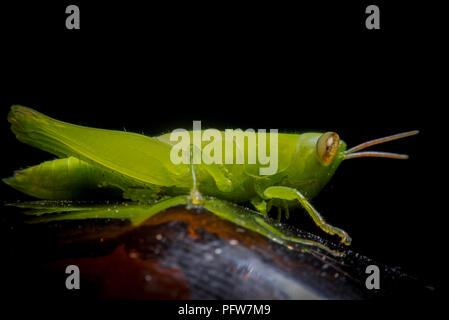 green grasshopper on grass cane on green blurry background, macro photography close up grasshopper - Stock Photo