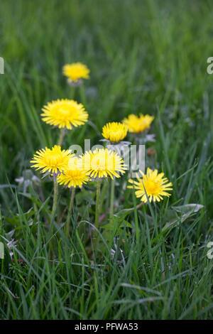 Taraxacum officinale. Dandelions in the grass. - Stock Photo