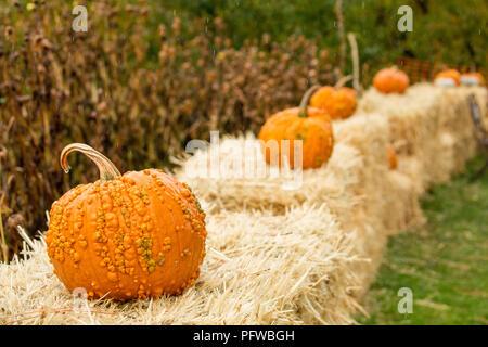 Hood River, Oregon, USA.  Orange warty pumpkins resting on bales of hay for Halloween decoration. - Stock Photo