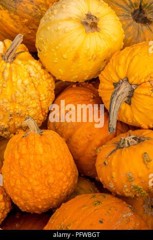 Hood River, Oregon, USA.  Pile of orange warty pumpkins for sale. - Stock Photo