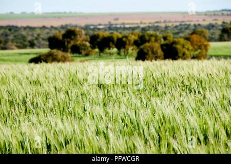 Wheat Field in Spring - Mid West - Western Australia - Stock Photo