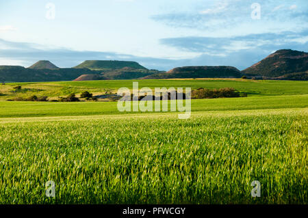 Wheat Field in Spring - Mid West - Western Australia - Stock Photo