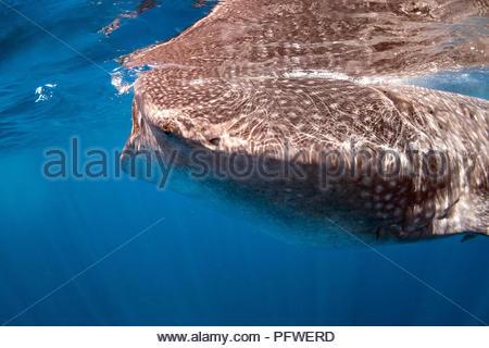 whale shark - Rhincodon typus - Stock Photo